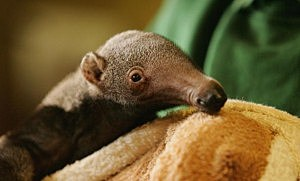 London Zoo Welcomes Baby Anteater