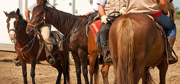 Horses in western saddle
